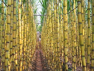 shocking-truth-find-out-which-food-is-genetically-modified-sugar-cane