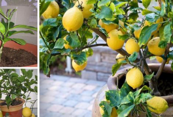 grow-unlimited-supply-lemons-using-just-1-seed