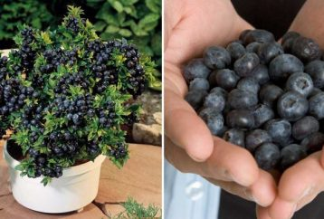 how-to-grow-blueberries