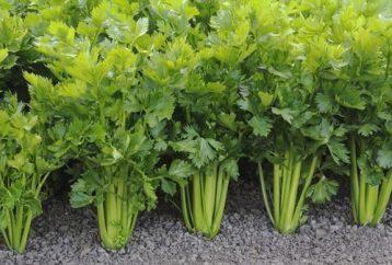 10-unbelievable-reasons-eat-celery-evening