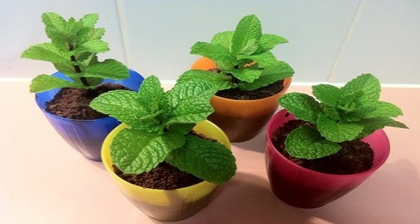 bring-home-peppermint-plants-say-goodbye-spiders-many-insects-yes-also-cure