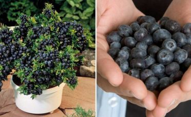 grow-unlimited-amounts-blueberries-backyard