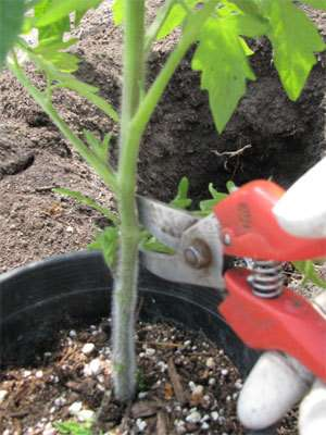 properly-plant-tomato-get-5-8ft-plants6