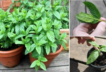 12-reasons-grow-mint-home
