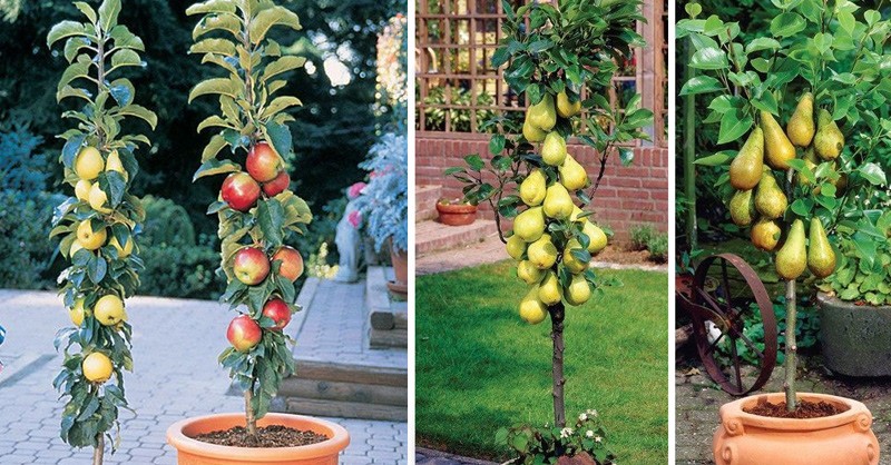 healthy food fruit dwarf fruit trees