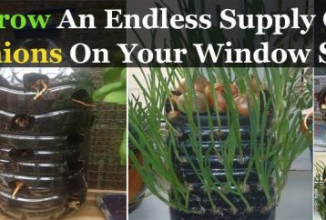 easily-grow-endless-supply-onions-window-sill