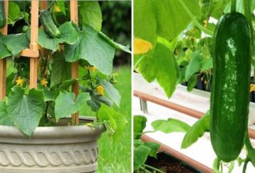 grow-cucumbers-vertically-effective-way
