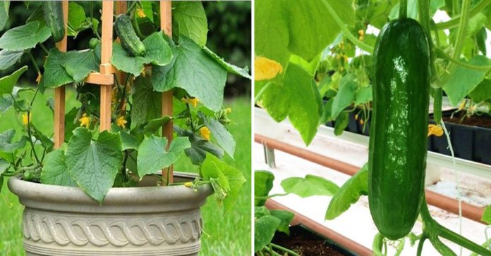 How To Grow Cucumbers Vertically In An Effective Way