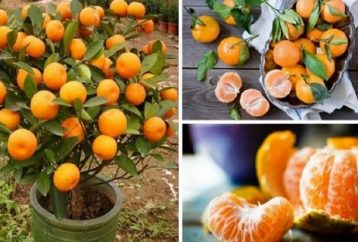 stop-buying-tangerines-plant-flowerpot-will-always-hundreds-organic-tangerines