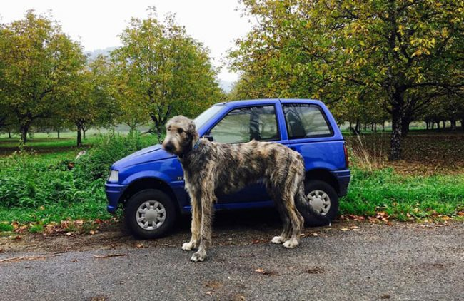 People Share Hilarious Pics Of Their Irish Wolfhounds And They Are Crazily Large