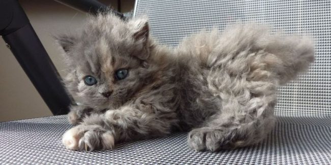 Poodle Cats Are Unlike Any Cat You've Ever Seen In Your Life And You Will Love Their Fluffy Curls