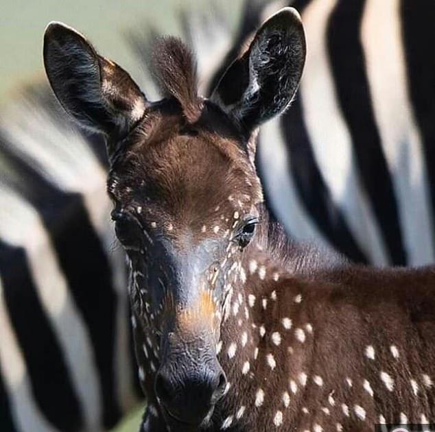 Rare Baby Zebra With Spots Instead Of Stripes Born In Kenya