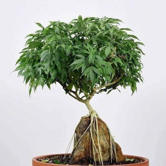 Cannabis-bonsai Tree