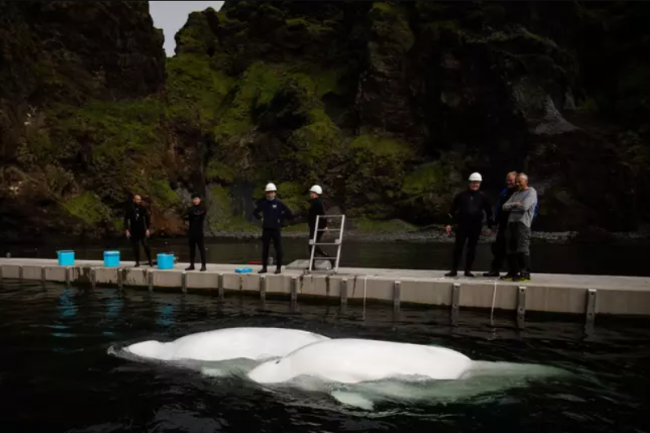 2 Beluga whales are being transported to open water ocean refuge