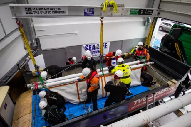 2 Beluga whales are being transported from aquarium to open water ocean refuge