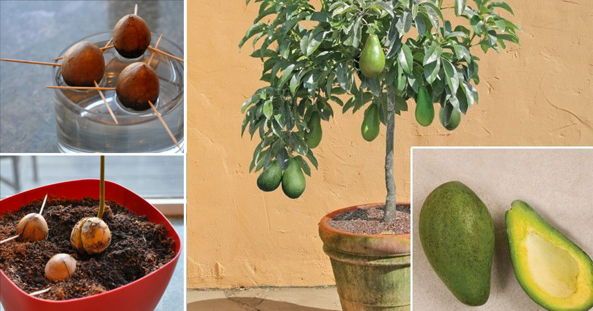 Stop Buying Avocados. Here's How to Grow an Avocado Tree ...