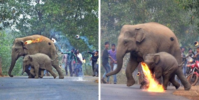 Mother Elephant And Her Calf Attacked With Firebombs As Deforestation Drives Them Into The Paths Of Humans