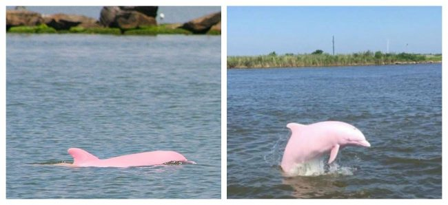 Nearly Extinct Pink Dolphin Gives Birth To Pink Calf